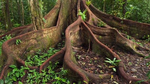 buttress-roots-eastern-amazon-ecuador-1920x1080